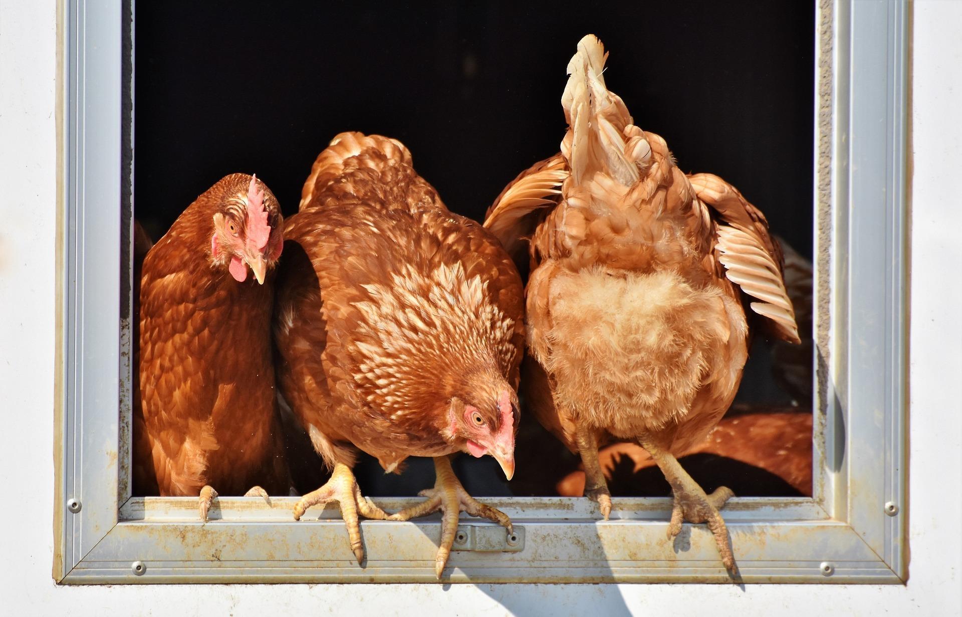 chicken-3662513_1920
